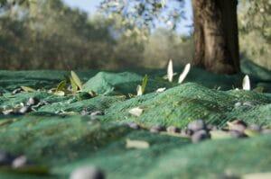 olive-harvest-1798352_1280